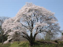 鉢形城の桜・エドヒガン - 寄居...